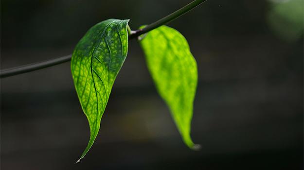 dettaglio foglie su albero