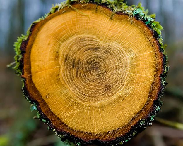 sezione tronco di albero