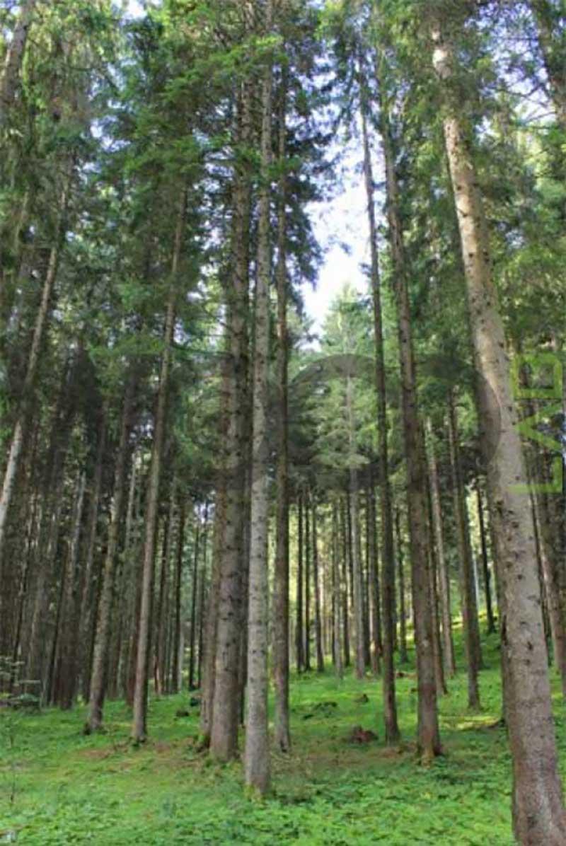 foresta di legno