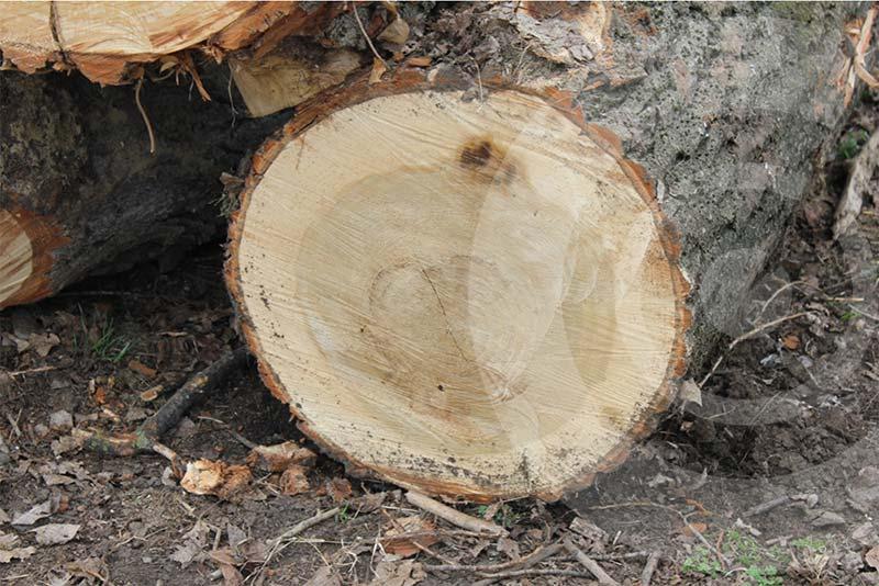 tronco albero: alburno e durame
