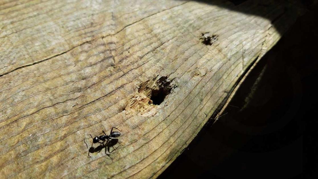formica camponotus ligniperda