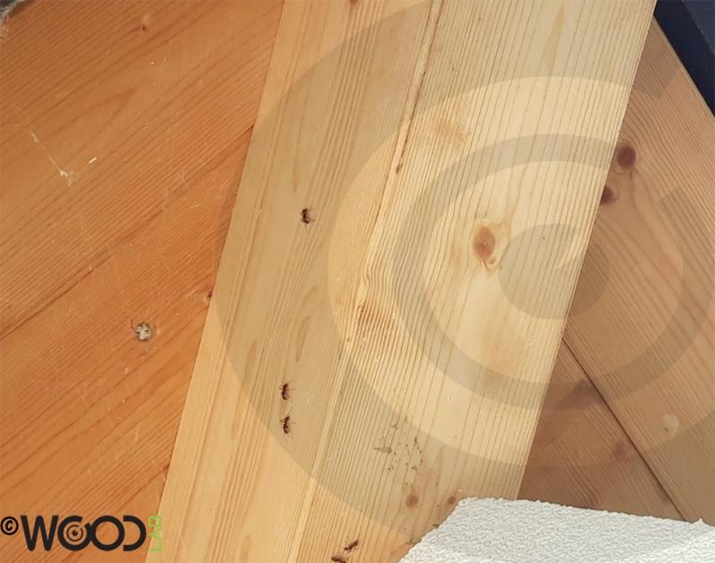 formiche su travi in legno