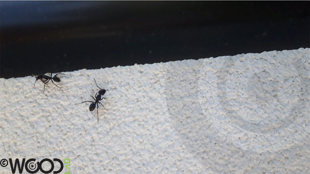 formiche sul muro